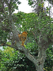 lion-in-tree.jpg