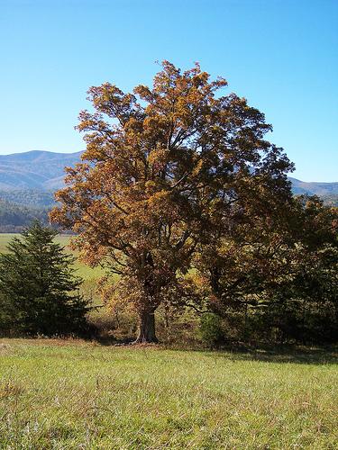 oak-tree.jpg