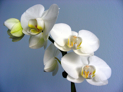 orchid-innocent-by-melony-via-flickr.jpg