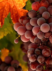 grapes-by-flauto.jpg