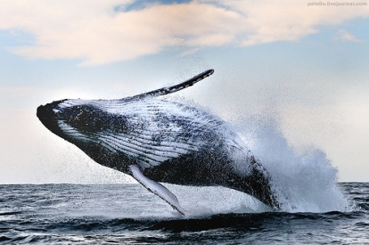humpback-whale-south-africa-by-pats0n-via-flickr