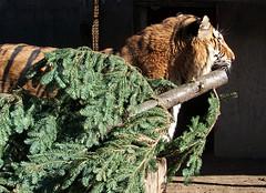 tiger-christmas-by-photocatt