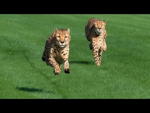 img_166150_houston-zoo-cheetahs-run-at-sam-houston-race-park