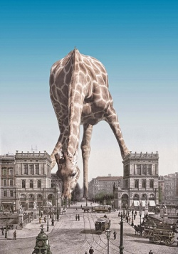 Giraffe Lucas